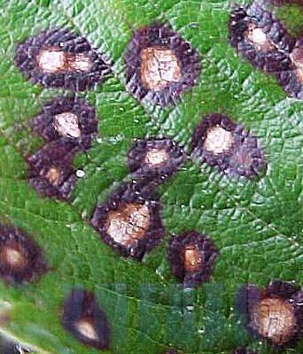 болезни на листьях груши