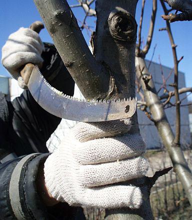 обрезка груши весной схема1