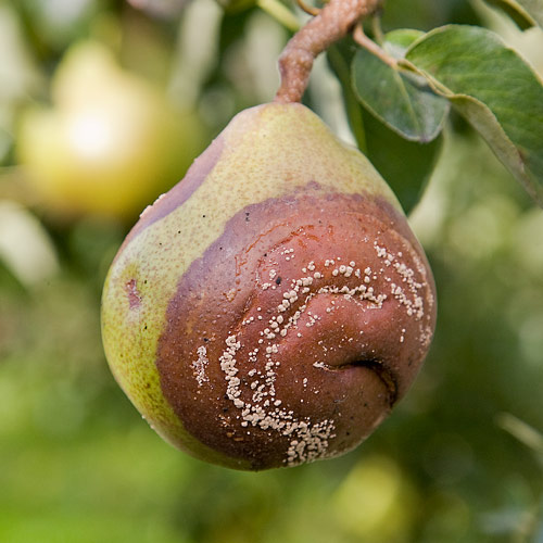 болезни на листьях груши плодовая гниль