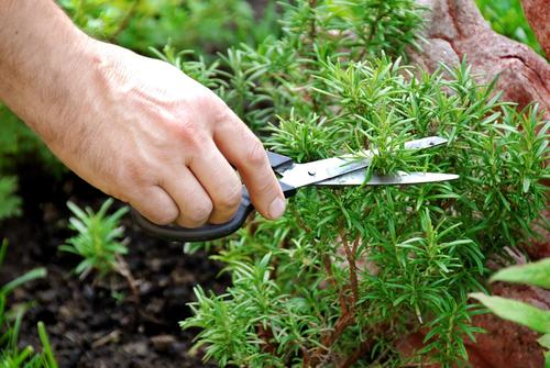 розмарин выращивание