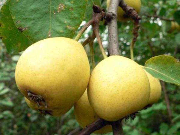 Перспективные сорта груши