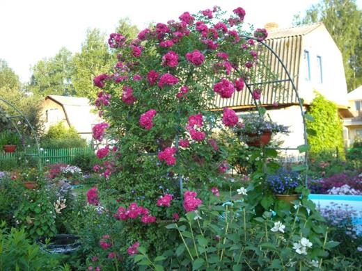 плетистая роза на зиму