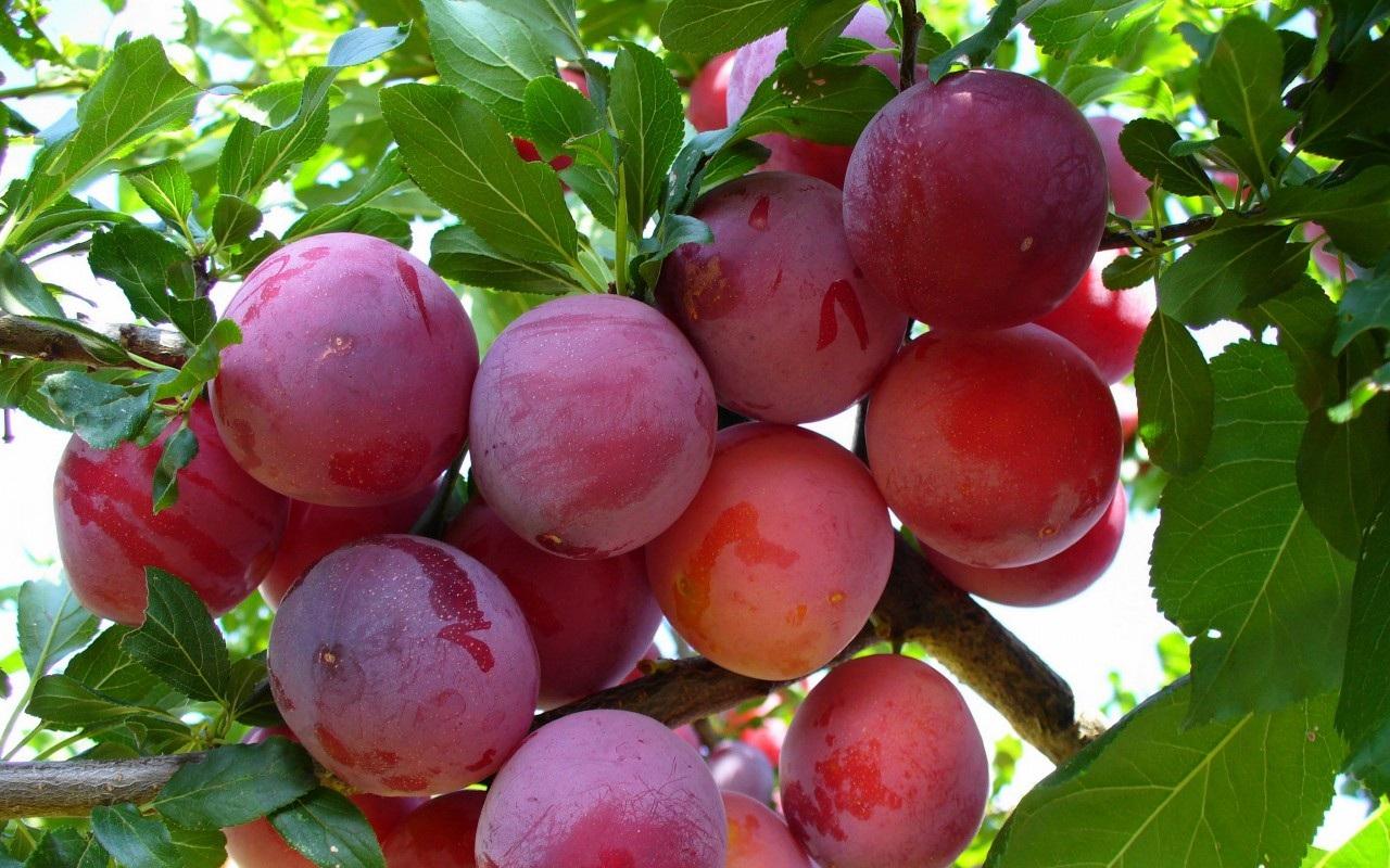 выращивание сливы
