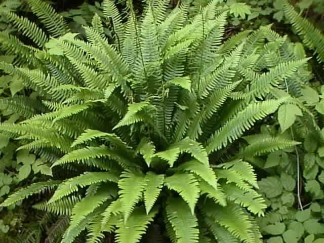 растение папоротник