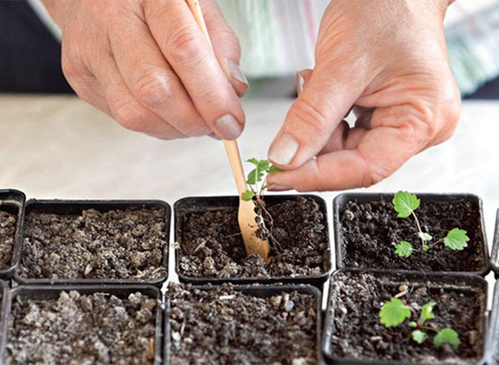 рассада клубники семенами