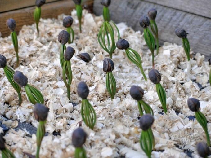 кедр растение