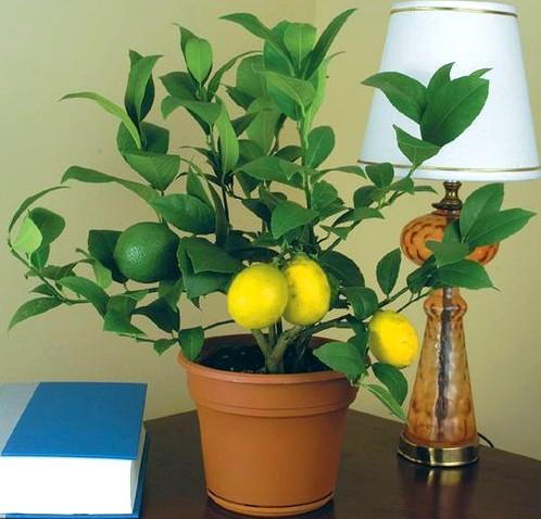 выращивание домашнего лимона