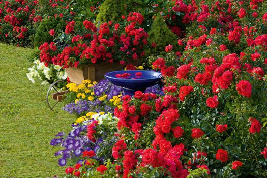 почвопокровные розы фото