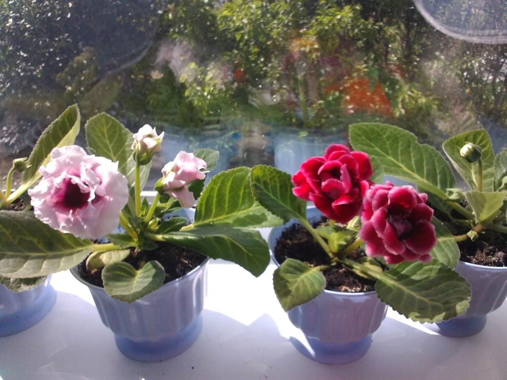 Выращивание и уход за глоксиниями в домашних условиях