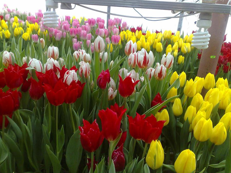 выгонка тюльпанов в теплице