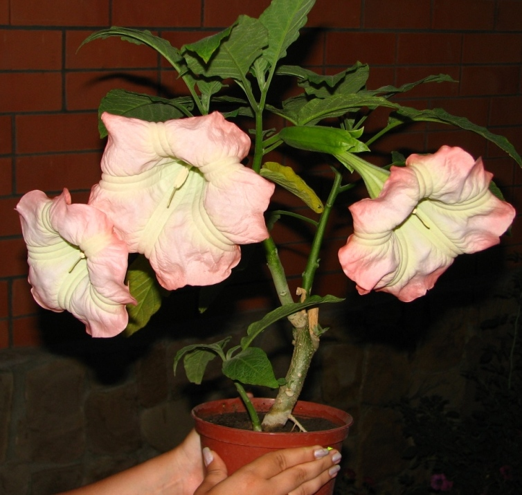 Бругмансия выращивание из семян