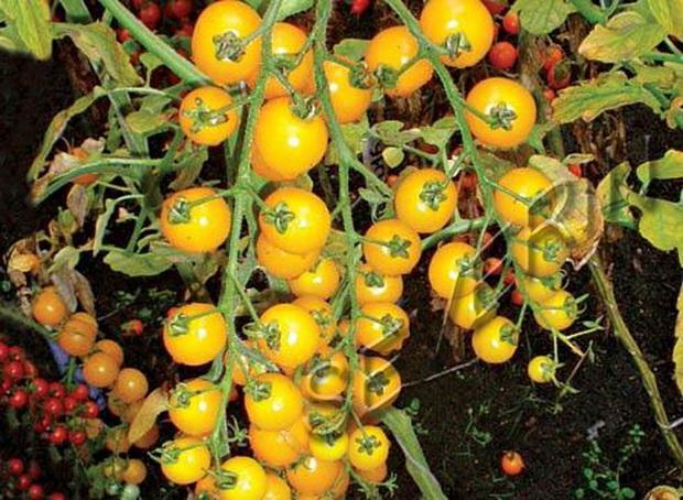 желтые помидоры золотая гроздь
