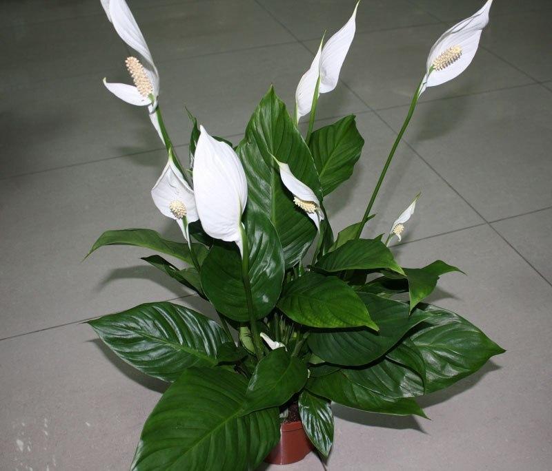 спатифиллум не цветет
