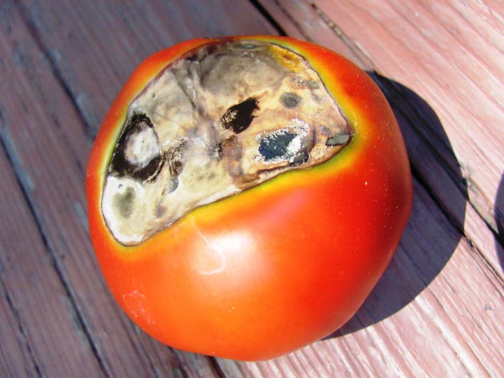 болезни томатов вершинная гниль