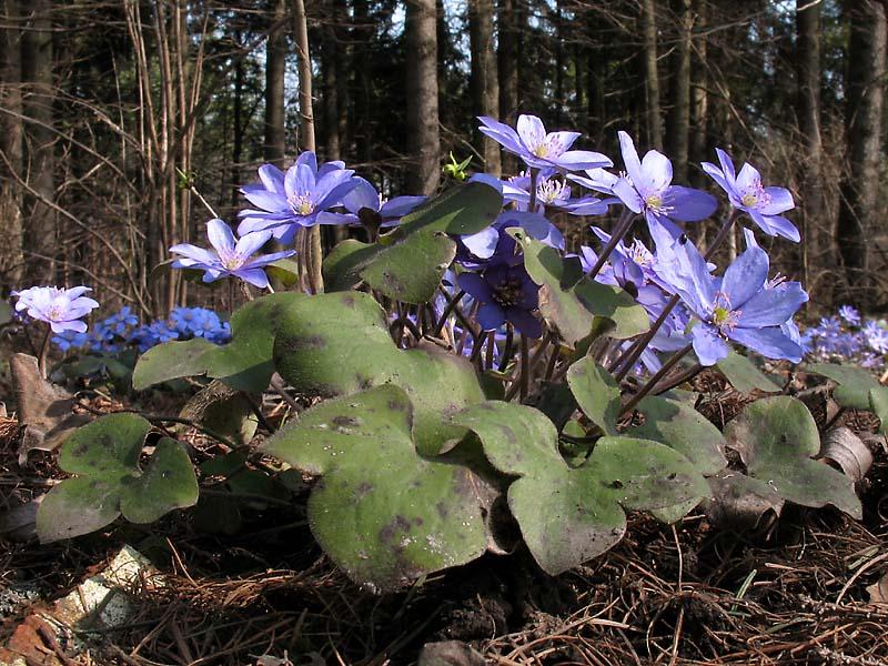 ранние цветы