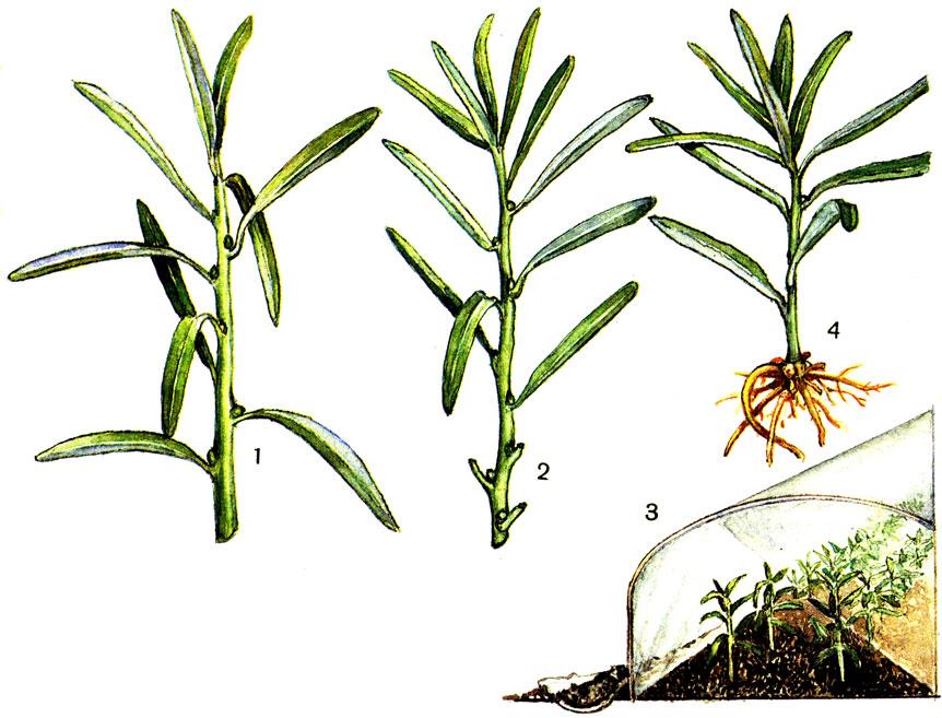 эстрагон выращивание