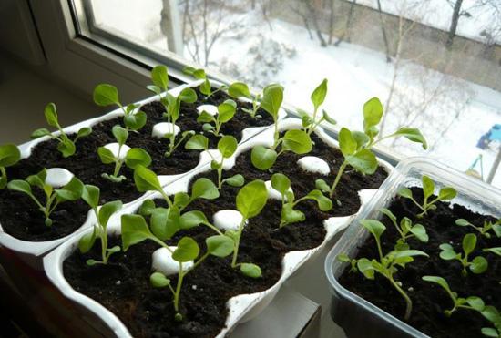 Выращивание в домашних условиях петуньи