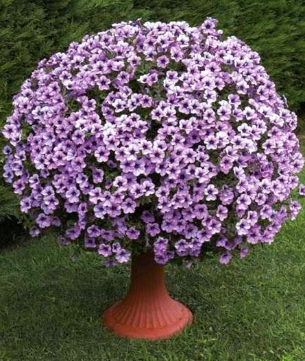 сурфиния-Compact-Purple-Vein_2