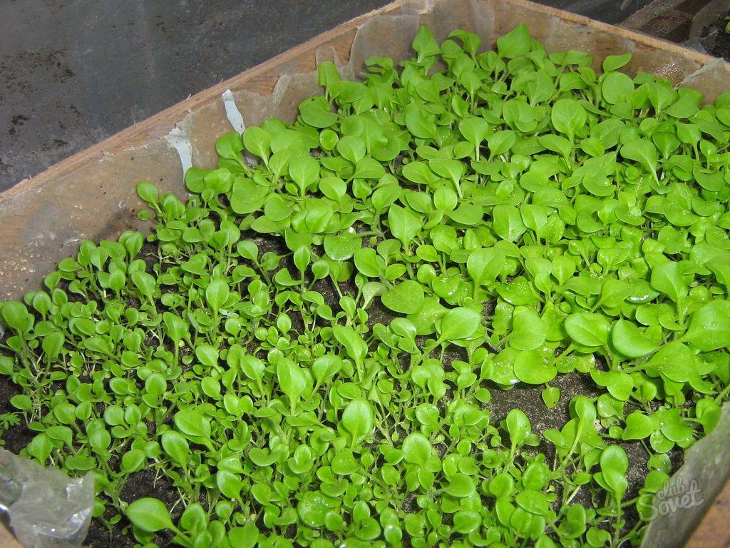 Выращивание рассады петунии