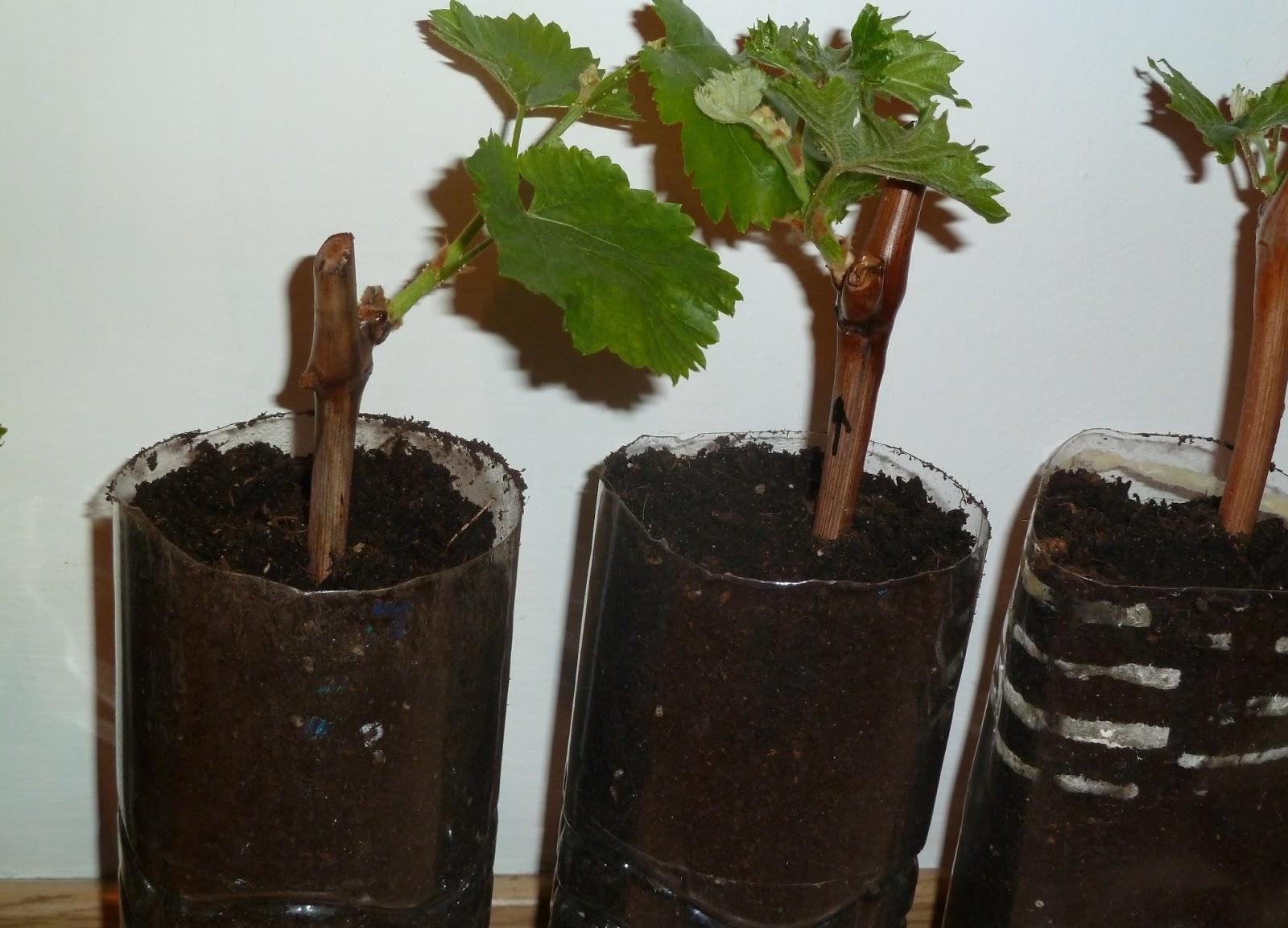 Выращивание винограда черенками