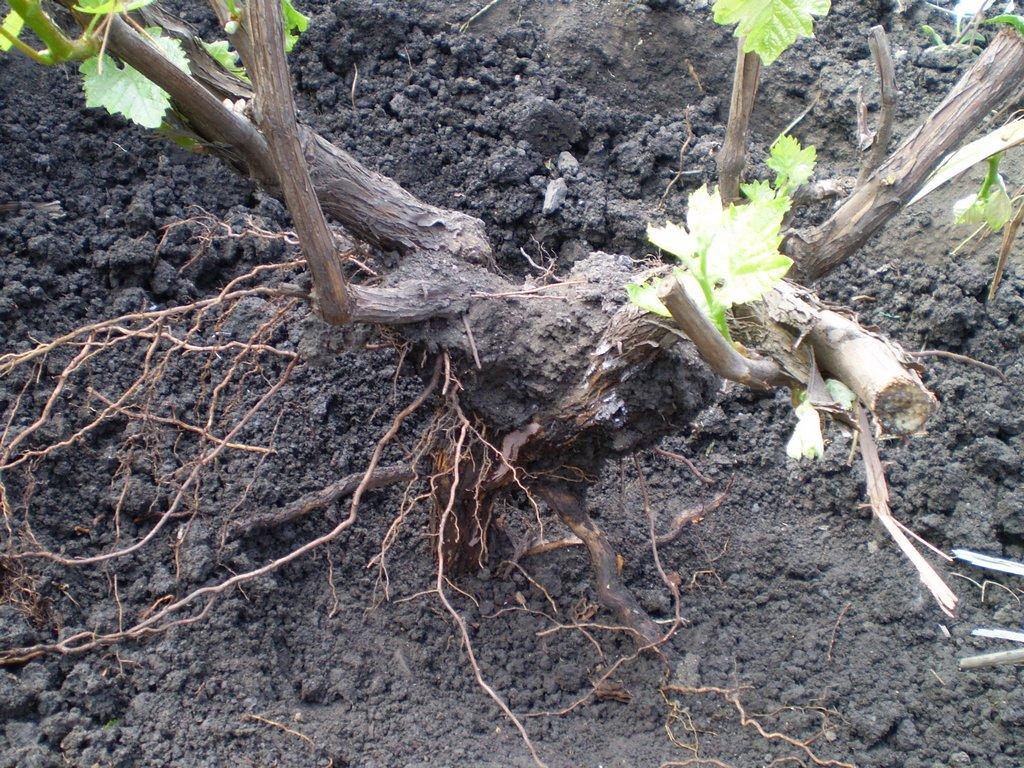 пересадка винограда на новое место