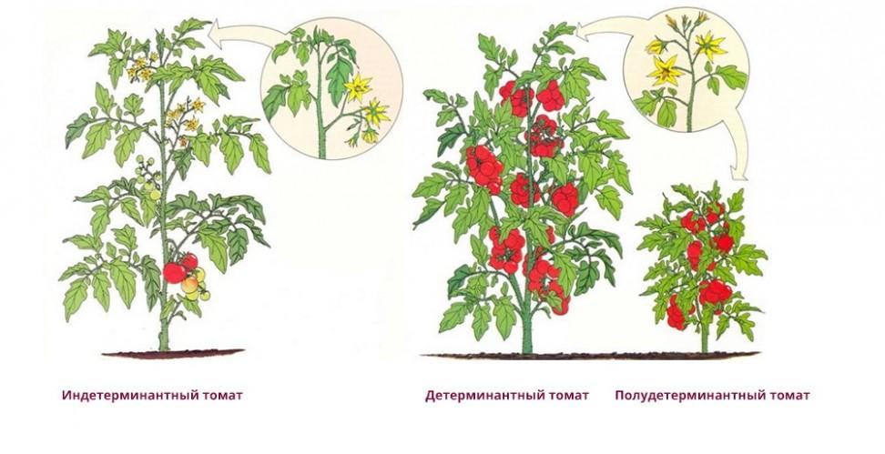 Пасынковать ли помидоры