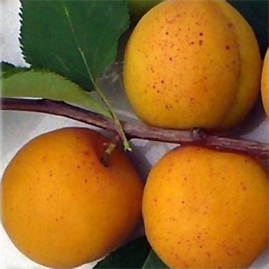 сорта абрикосов царский описание фото