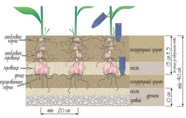пересадка лилий