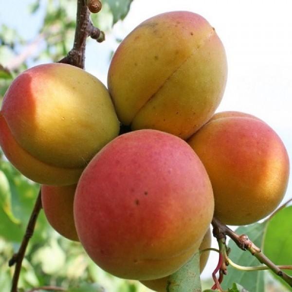 поздние сорта абрикос фаворит