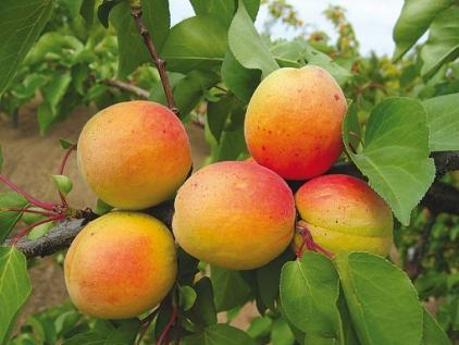 средние сорта абрикоса монастырский