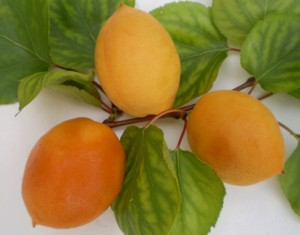 сорт абрикоса Ялтинец