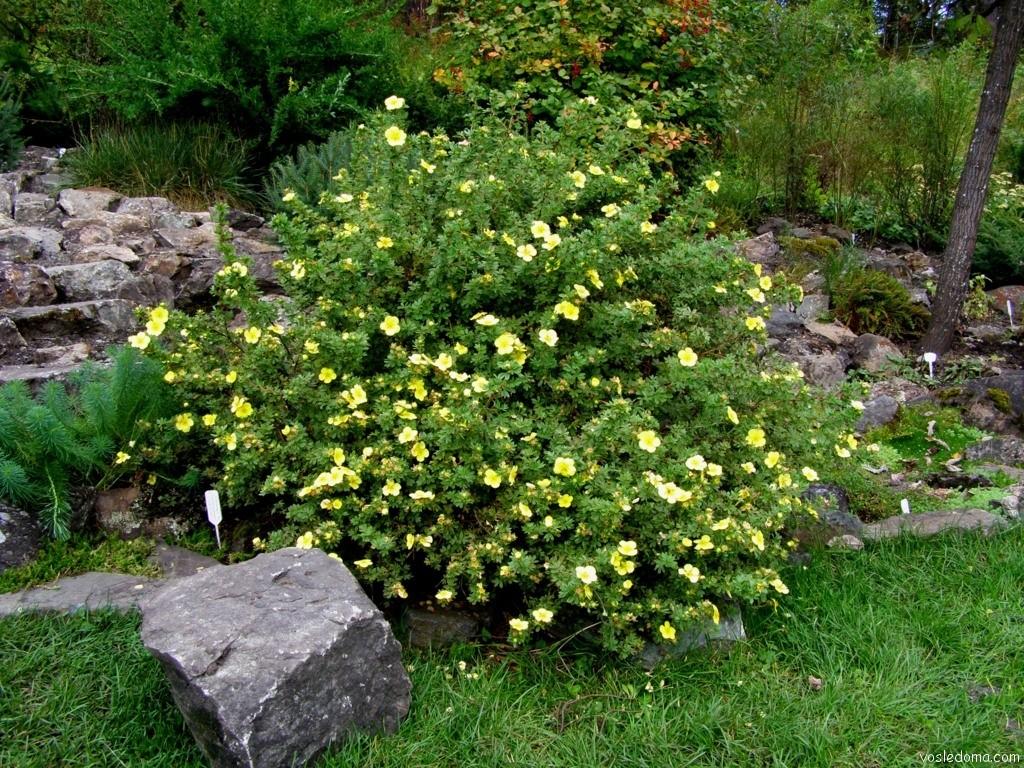 Лапчатка кустарниковая уход и выращивание полезные свойства 23