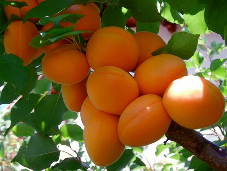 средние сорта абрикоса