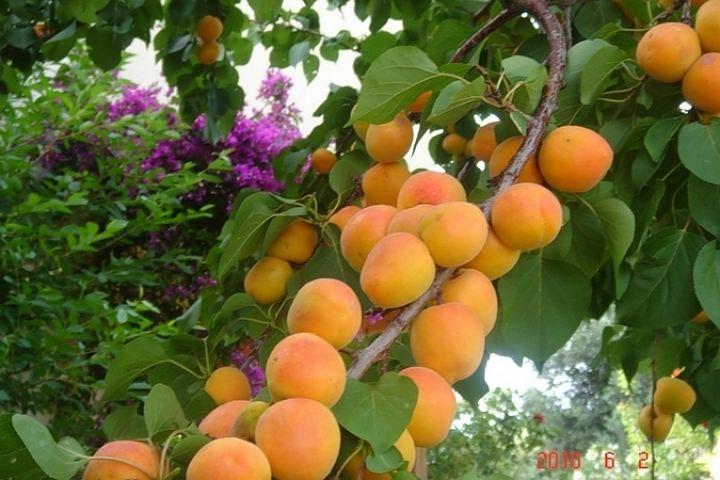 сорта абрикосов описание фото