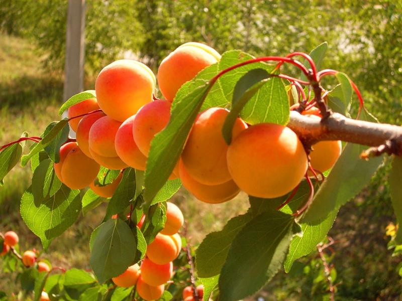 схема обрезки абрикоса. jpg