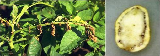 болезни картофеля вертициллезное увядание