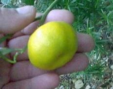 домашний мандарин шива микан