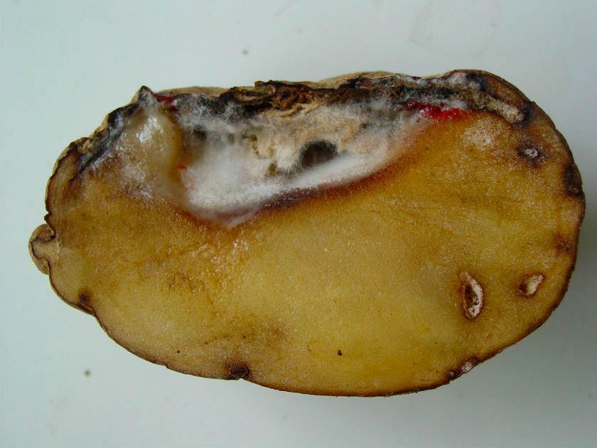болезни картофеля фузариозное увядание