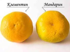 домашний мандарин клементин