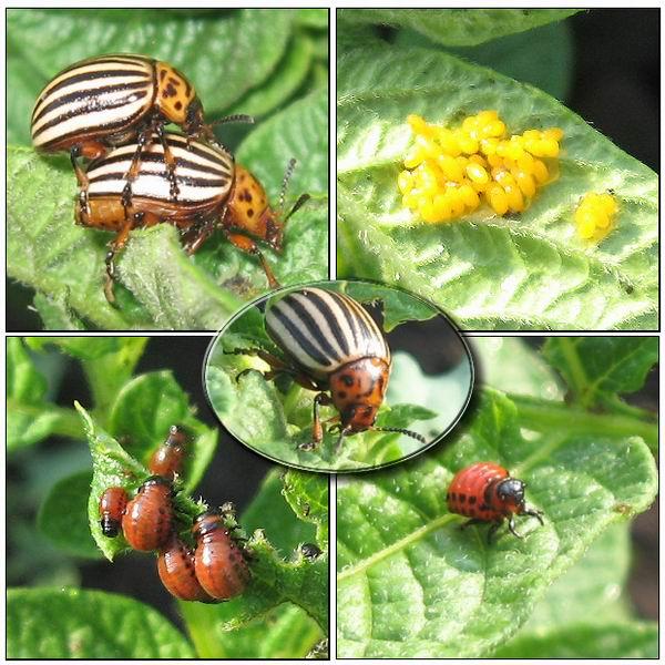 борьба с колорадским жуком,