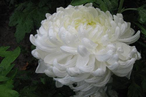 Хризантемы виды и сорта фото с названиями