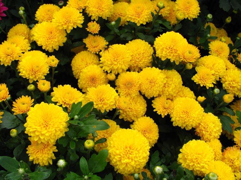 сорт хризантем золотое руно