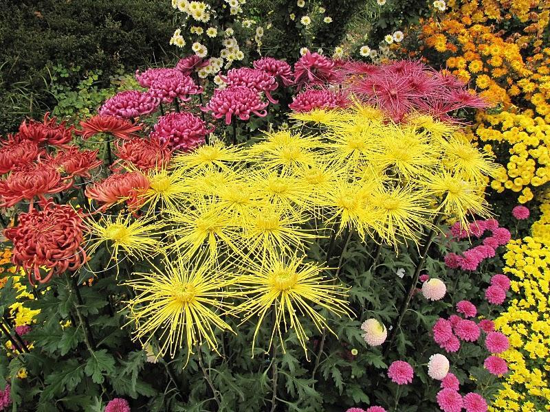 сорта хризантем