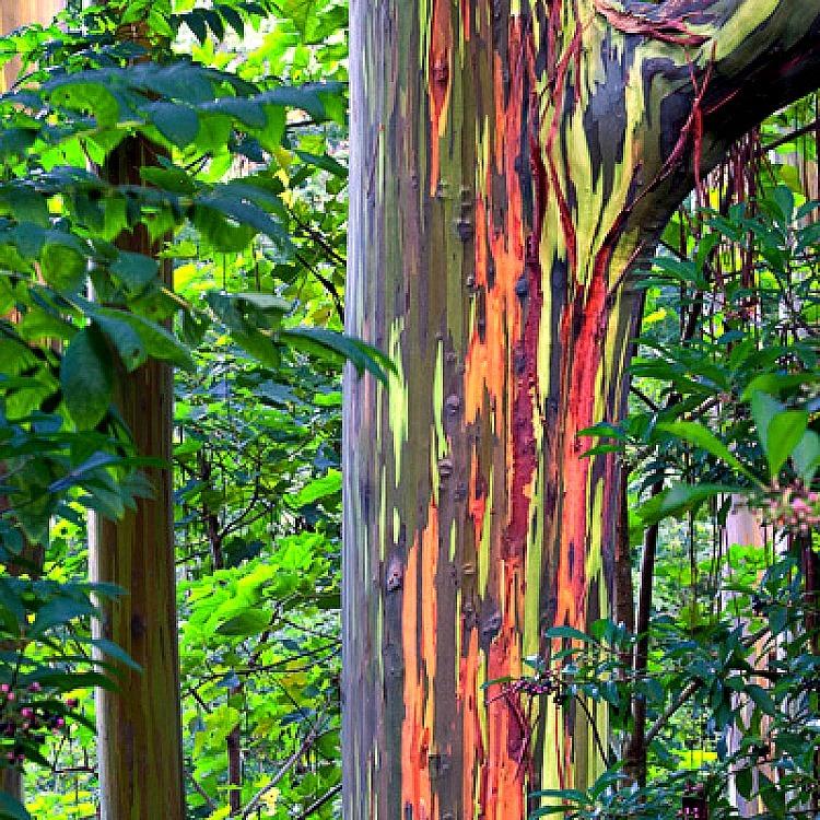 удивительные растения радужный эвкалипт
