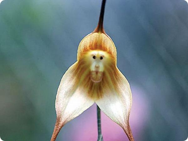 удивительные растения дракула