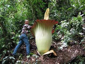 удивительные растения аморфофалус
