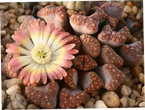 удивительные растения литопсы