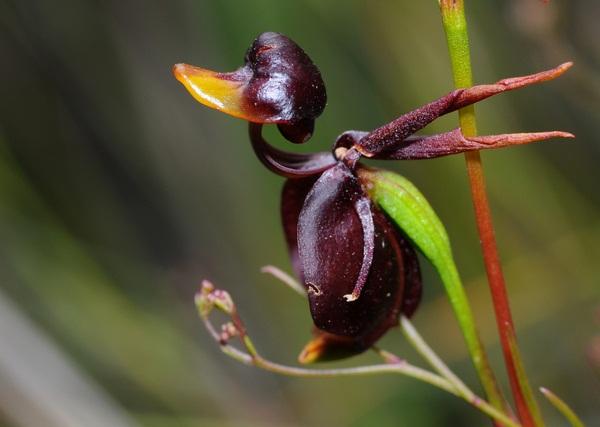 удивительные растения утконосая орхидея