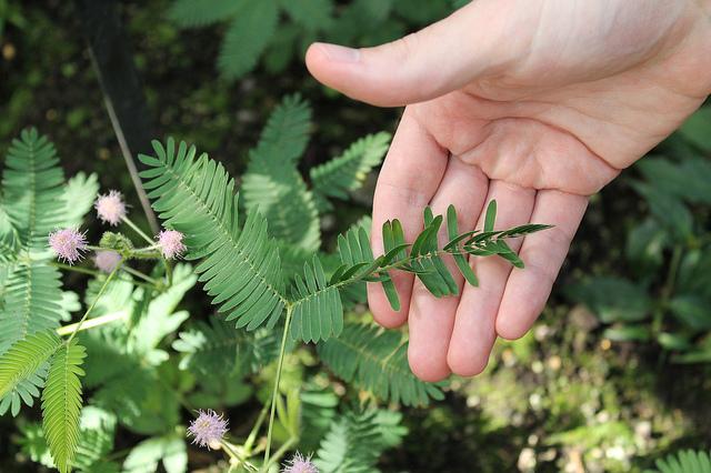 удивительные растения мимоза стыдливая