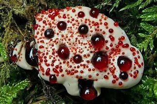 удивительные растения кровавый зуб